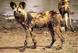 safari ltd african wild dog wild dog carnivore south africa