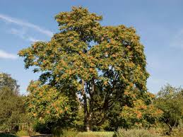 plants native to uk conservationists call for ban on u0027tree of hell u0027 that threatens to