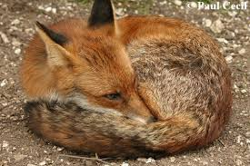 sleeping red fox wallpapers wildlife online natural history of the red fox