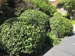 Lollipop Topiary Topiary My Five Favourite Evergreen Shrubs