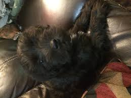 affenpinscher how much do they cost how to raise miniature schnauzers 12 steps with pictures