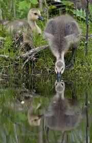 hinterland who u0027s who canada goose