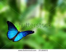 Blue And Green Butterfly - butterfly stock images royalty free images vectors