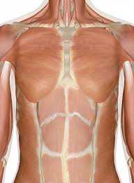 Chest And Shoulder - of the chest and back