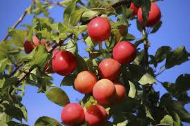 Backyard Fruit Trees Superior Plum Tree At Backyard Fruit Fruit Trees Pinterest