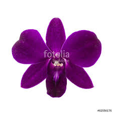 purple orchid flower up of single purple orchid flower on white background