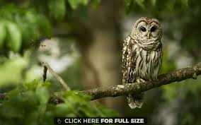an owl sits on a tree branch wallpaper