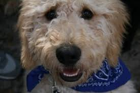how to cut a goldendoodles hair how to groom a goldendoodle the world of goldendoodles