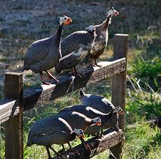 Backyard Buddy For Sale Guinea Fowl Your Overlooked Backyard Buddy Modern Farmer