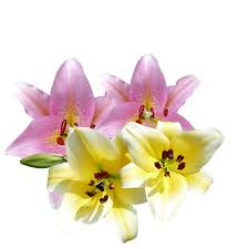 Lilies Flowers Free Photo Yellow Lilies Pink Garden Lilies Flowers Flowers Max