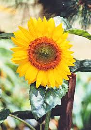 Musings On Sunflowers As Symbols