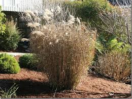 pruning miscanthus grass how to cut back big ornamental grasses