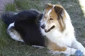 australian shepherd mix breeds australian shepherd border collie mixed breed dog online dog