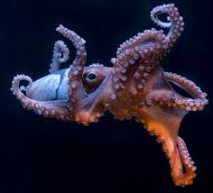 Seeking Octopus July 2017 Calabria Photo Journal