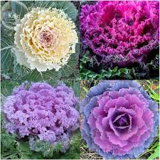 ornamental cabbage flowers ornamental kale brightens your fall