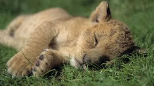 imagenes de leones salvajes gratis naturaleza animales cachorros leones dormidos animales salvajes