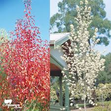 ornamental pear burgundy snow perth wa garden centre