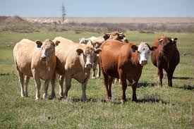 free picture cattle ranch farming cows