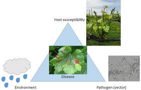 Plant Diseases With Pictures - evaluation of the cultivar effect on wine grape fungal diseases