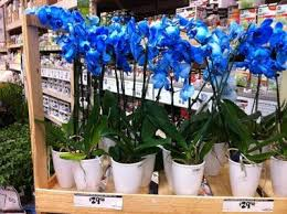 blue orchids for sale potted blue orchids for sale smiling sally blue monday blue