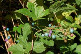 american bittersweet plants vs invasive oriental vines