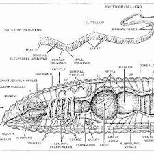 frog anatomy worksheet gallery human anatomy learning