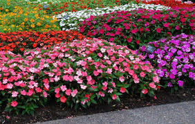 Long Blooming Annual Flowers - 28 long blooming annual flowers silene diocia long blooming