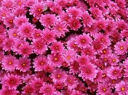 mums flower magenta mums wallpaper nature wallpapers for free download about