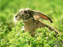 10 best study of rabbit images on pinterest hare jack rabbit
