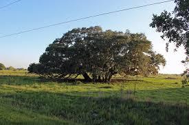 big oak tree cluster in brazoria tx mapio net