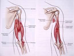Bicep Innervation Biceps Muscle Anatomy Biceps Brachii Muscle Origin Insertion Amp
