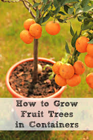 how to grow fruit trees in containers moms need to know