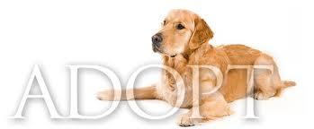Comfort Retrievers For Adoption Home Delaware Valley Golden Retriever Rescue