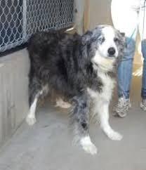 65 lb australian australian shepherd adopt charlie on kid australian shepherd dogs and rivers