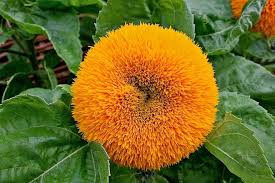 teddy sunflowers mutant flowers images of sunflower varieties