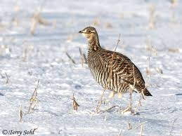 South Dakota birds images Greater prairie chicken south dakota birds and birding jpg