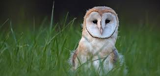 Scientific Name Of Barn Owl Galapagos Barn Owls Quasarex Expeditions