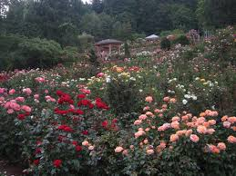 chuck does art portland city of roses