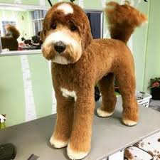 labradoodle hairstyles labradoodle haircuts for summer do you do a summer haircut