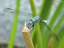 dragonflies u2013 wonder and beauty