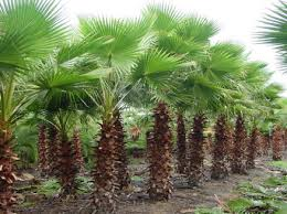 mexican fan palm growth rate large selection of palm trees palm trees for sale