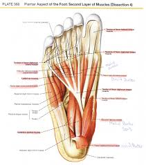 muscle spindle anatomy gallery learn human anatomy image