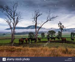 captured australian brumby horses standing around dead trees in a