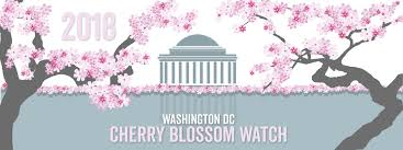 washington dc cherry blossom watch about