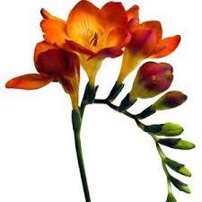 freesia flower orange freesia flower farm fresh exports