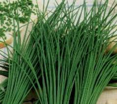 erba cipollina in vaso l erba cipollina questa sconosciuta di lalchimista