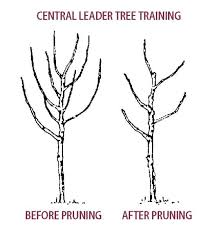 pruning pear trees stark bro s