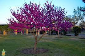 oklahoma redbud trees for sale the planting tree