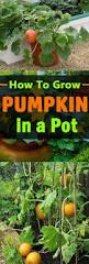 growing pumpkins in containers how to grow pumpkins in pots