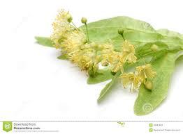 linden flower linden flower stock photography image 10929982